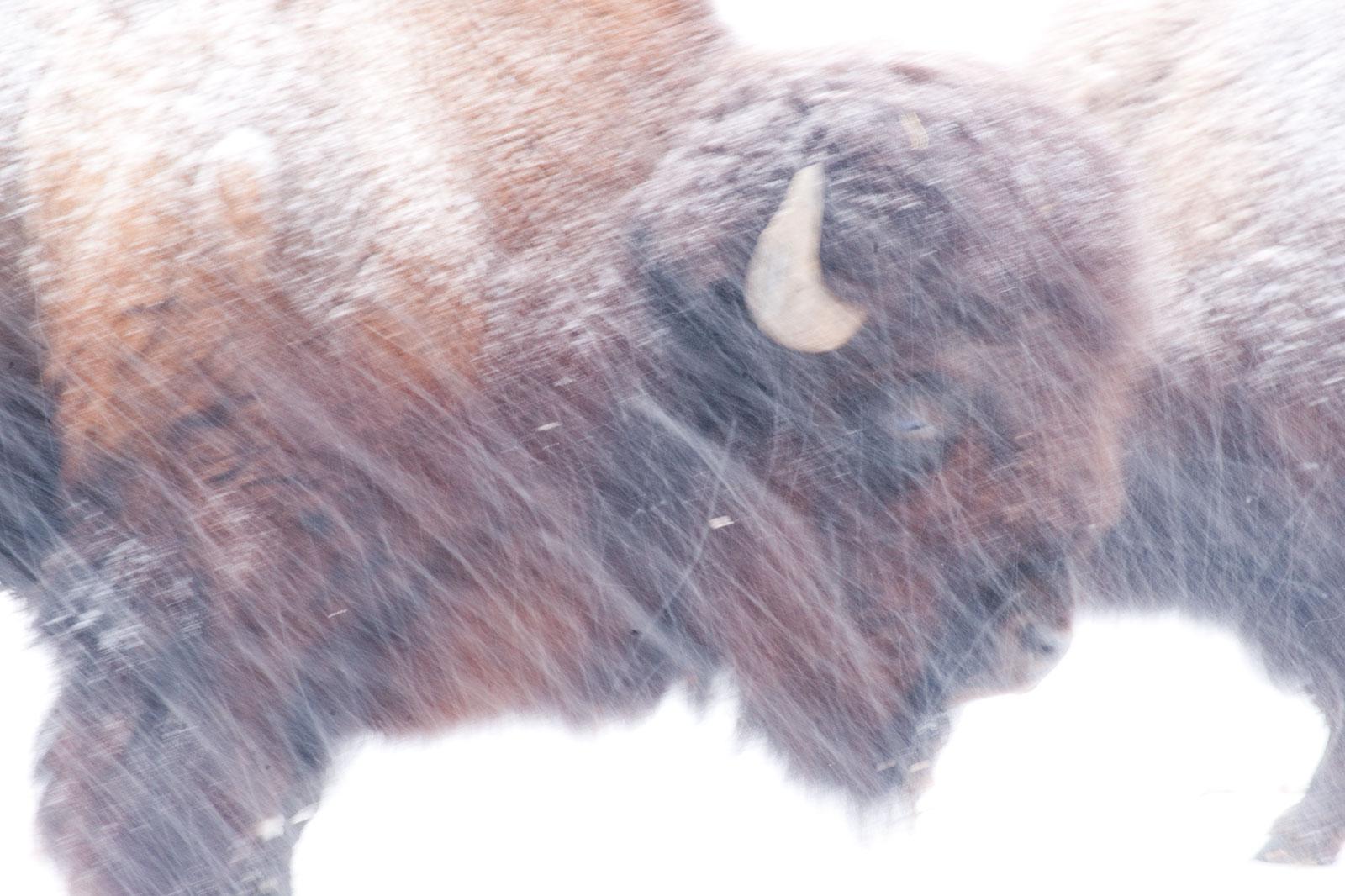 Wilde beesten in de sneeuw, januari 2010