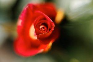 De eerste roos, april 2011