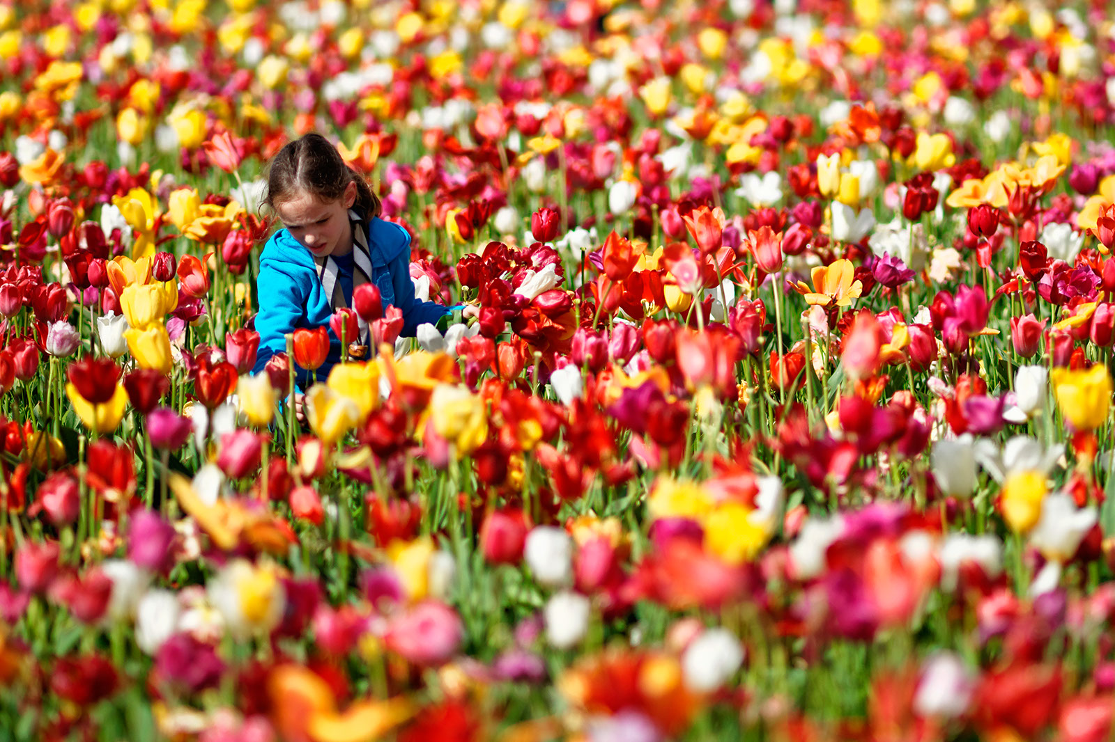 Tulpenpluk, april 2012